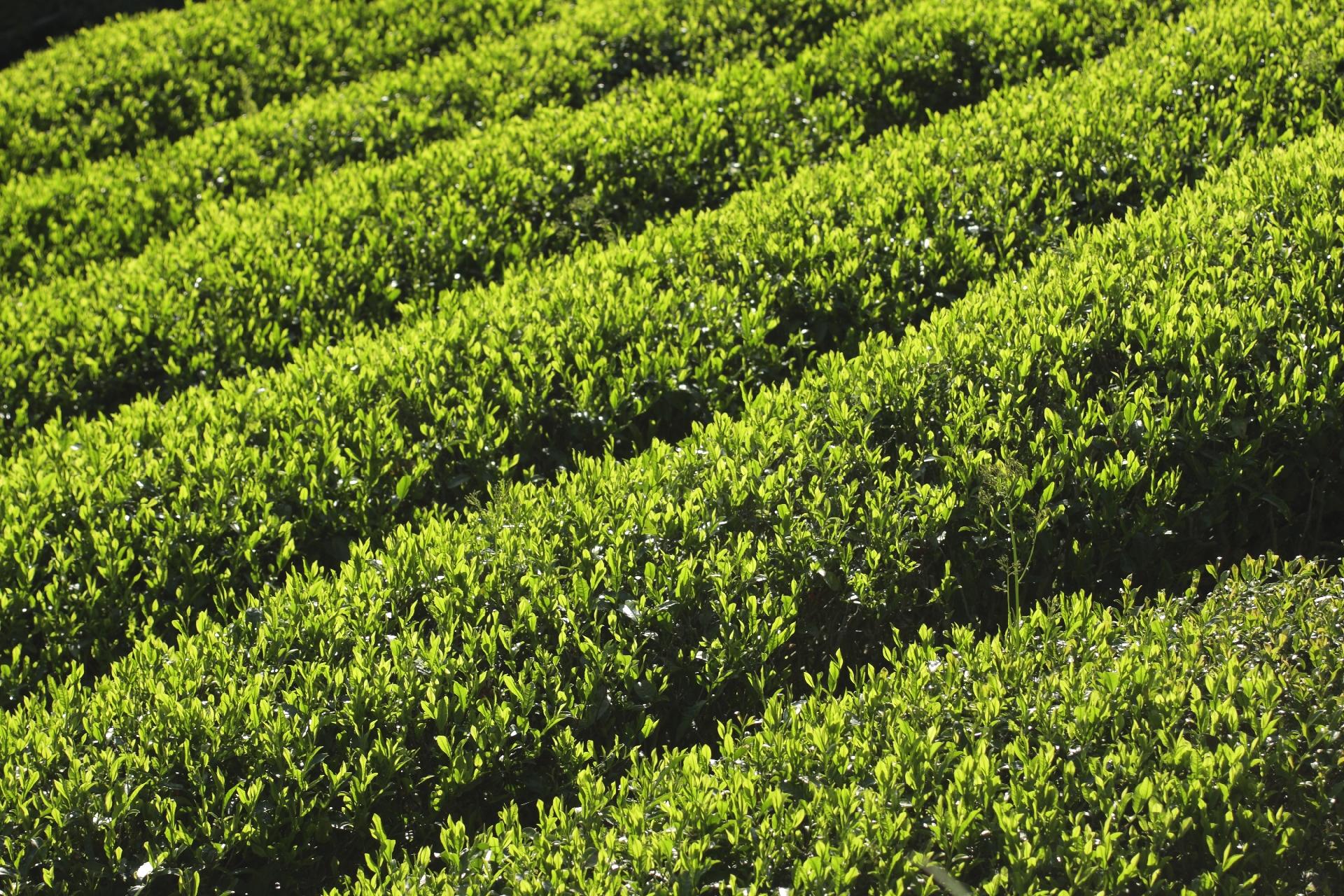 茶の木の剪定方法と剪定適期につ...